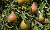 A gyümölcsfák közül a körtefa jó választás